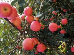 皓韵有机苹果生产基地